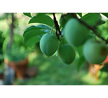immature peaches,  Photographic Print