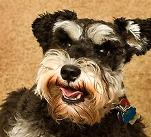 Miniature Schnauzer by Mark Van Scyoc