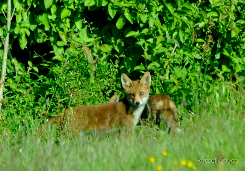 Fox cub by Russell Couch