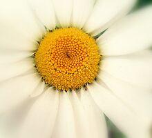 Laneside Daisy by Stan Owen