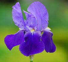 Iris by roumen