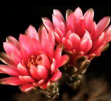 Cactus Blooms by bullsAndPei