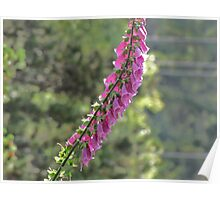 Pretty Foxglove, dont turn your back~~ Poster