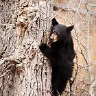 Black Bear Cub Clinging to a Tree by cavaroc