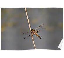 Four Spotted Chaser Poster
