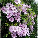 Clematis by Barry Norton