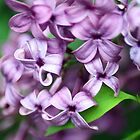 Purple Lilacs by Rebbecca Romine