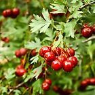 Fresh: Red Berries After the Rain by Rebbecca Romine