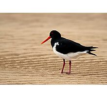Pied Oystercatcher Photographic Print