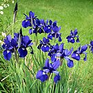 Blue Irises in the Afternoon by Elizabeth Bennefeld