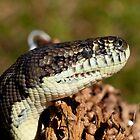 Coastal Carpet Python - Cairns - Australia by Paul Davis