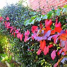 Glory Vine in Autumn colour by joycee