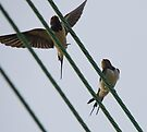 Swallows by Nigel Bangert