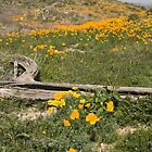 Arizona Poppy Wildflowers by cavaroc
