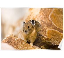 Pika in Grand Teton National Park Poster