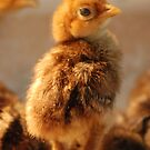 Baby Pheasant by Betty Maxey