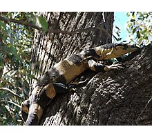 Lace Monitor - Bells Phase Photographic Print
