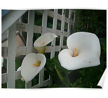 Latticed Lillies Poster