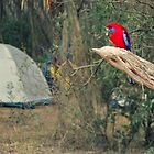 Crimson Rosella by Kymbo