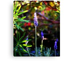 Lavender's blue dilly-dilly Canvas Print