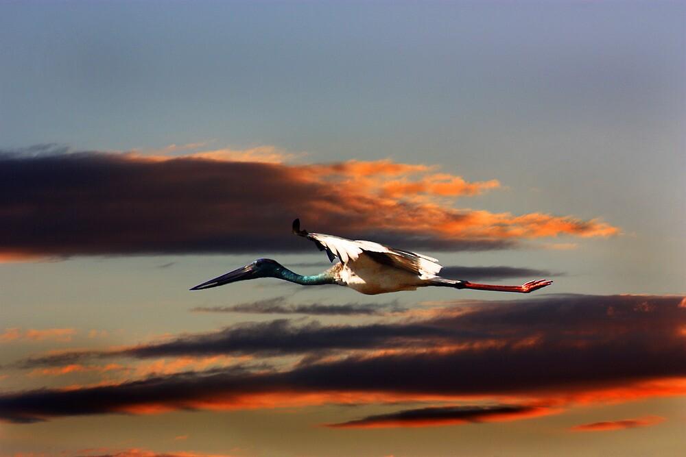 Jabiru Arrow Flight by byronbackyard
