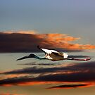 Jabiru Arrow Flight by byronbackyard