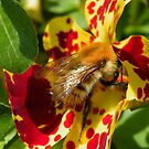 Bee in Mimulus by AnnDixon