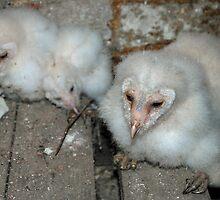 Baby barn owls by woolleyfir