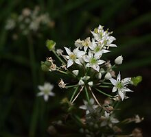 Garlic chive flowers by ♥⊱ B. Randi Bailey