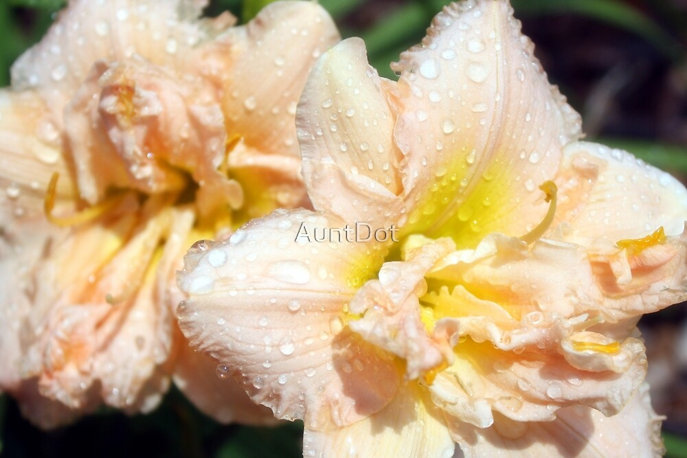 Lily and Rain Drops by AuntDot