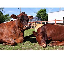 Three Big Mooo Photographic Print