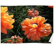 Prize Poppies Poster
