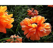 Prize Poppies Photographic Print