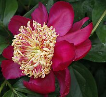Peony by Dennis Cheeseman
