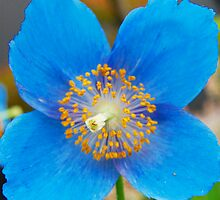 Blue Poppy by Ferdinand Lucino
