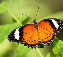 Orange Lacewing by Ann  Van Breemen