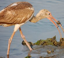 Immature Ibis, WHO CAUGHT WHO by imagetj