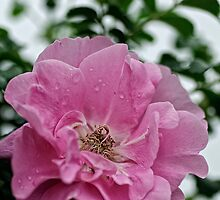 Jens Munk - Explorer Rose by Tracey  Dryka