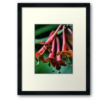 Orange Honeysuckle - Afternoon Sun Framed Print