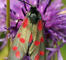 Six Spot Burnet Moth by MendipBlue