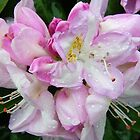 Pale Pink Rhododendron by LoneAngel