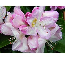Pale Pink Rhododendron Photographic Print