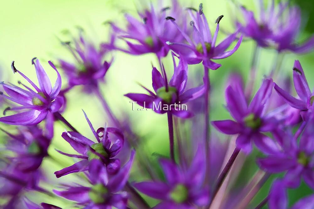 Lavender Allium Blossoms by T.J. Martin