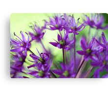 Lavender Allium Blossoms Canvas Print