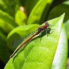 The Red dragon fly by Alan Gillam