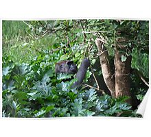 Western Lowland Gorilla (Gorilla gorilla gorilla) Poster