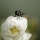 Fly Macro by Sam Mortimer