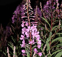 Fireweed by Alyce Taylor