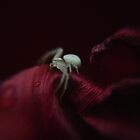 Crab Spider by Rodney Bovell