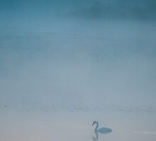 Whooper swan by tonivainio